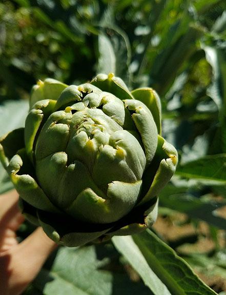 Beneficios de la alcachofa, propiedades de la alcachofa